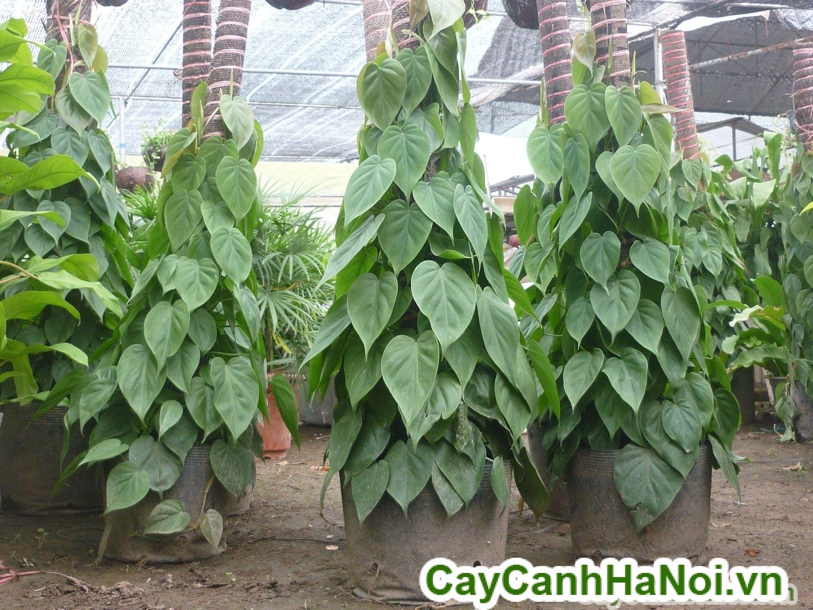 Cay-van-nien-thanh-leo-cot-2