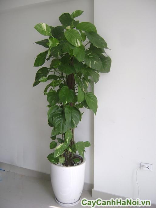 Cay-van-nien-thanh-leo-cot-4
