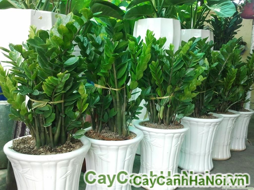 cay-Kim-phat-tai-3