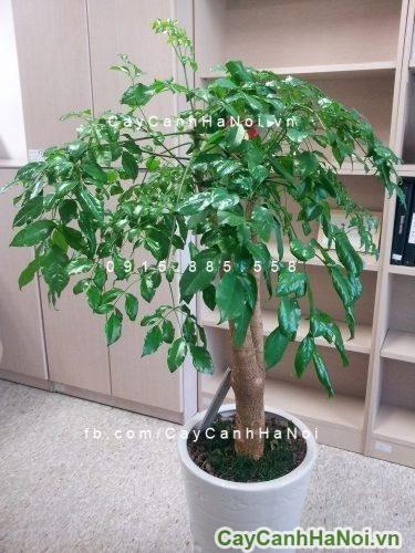 cay-hanh-phuc-1