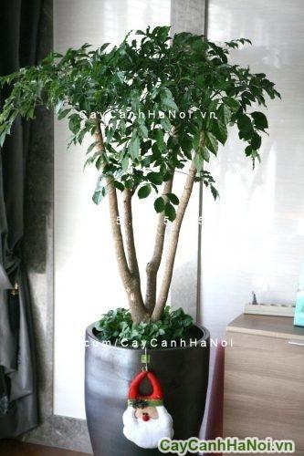cay-hanh-phuc-3