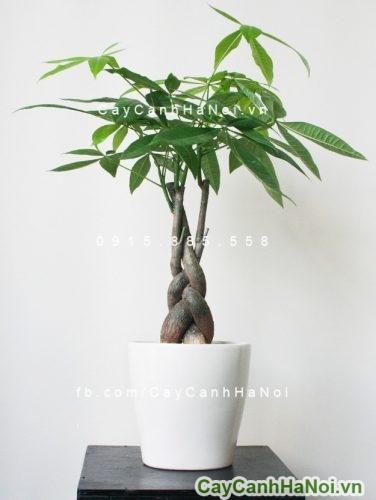cay-kim-ngan-3