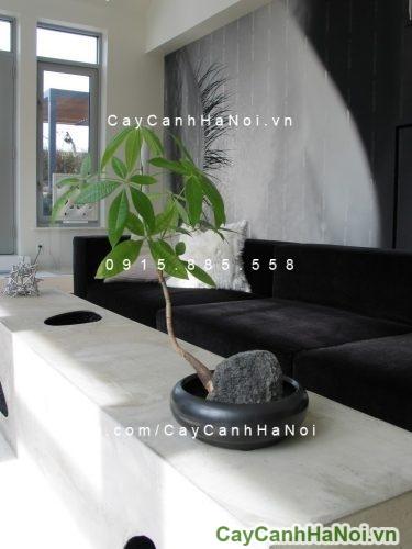 cay-kim-ngan-4