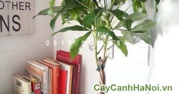 cay-kim-ngan-7