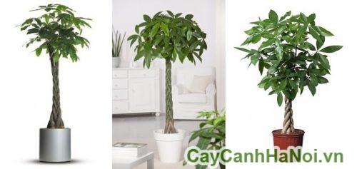 cay-kim-ngan-xoan-1